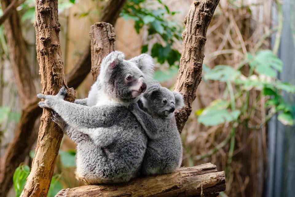 """Само 80 000 коали остават в света, което ги прави """"функционално изчезнали"""""""