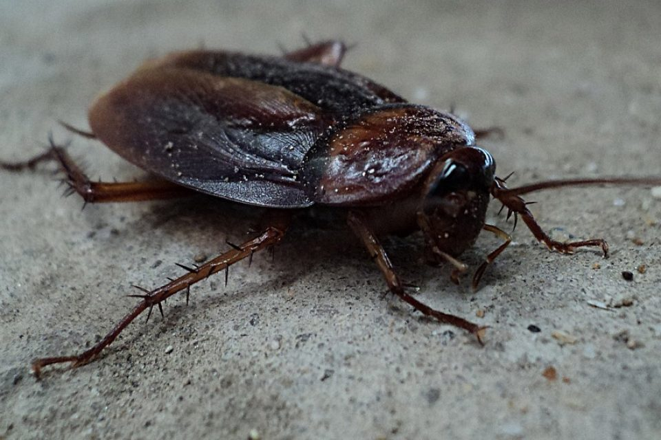 Хлебарките скоро ще станат непобедими