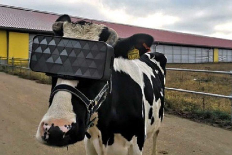 Руски фермери използват виртуална реалност, за да уверичат млякото на кравите си